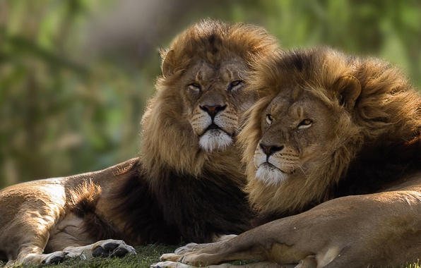 Picture pair, lions, brothers, kings