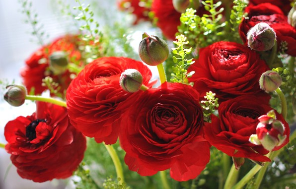 Picture flowers, red, petals, buds, Ranunculus, Asian Buttercup