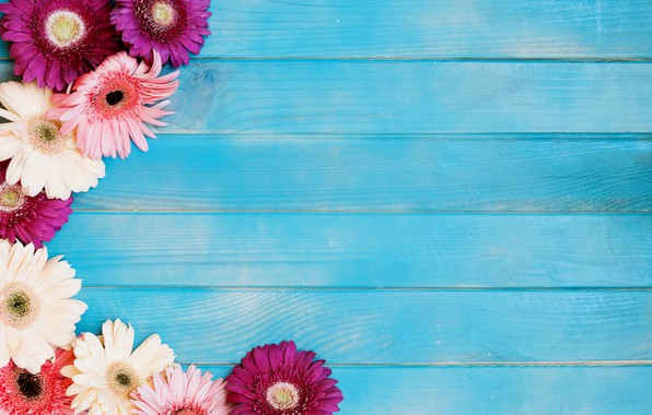 Picture flowers, gerbera, blue background