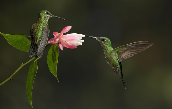 Picture flower, birds, Hummingbird