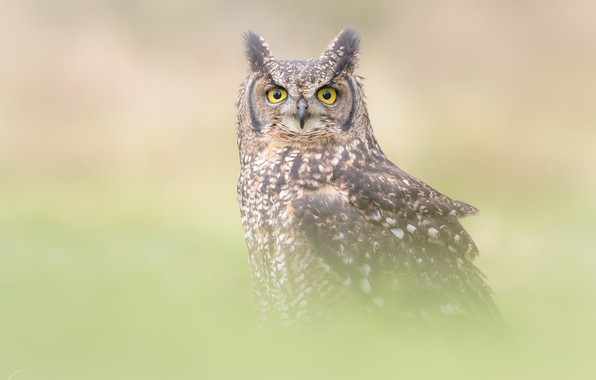 Picture look, fog, grey, background, owl, bird, portrait, owl, tail, blurred