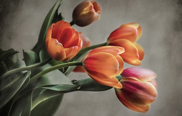 Picture background, bouquet, tulips