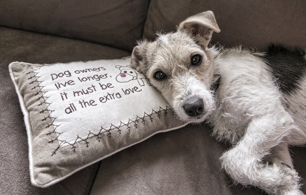Picture look, comfort, grey, background, sofa, the inscription, dog, puppy, lies, pillow, Terrier