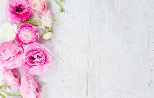 Picture white, pink, pink flowers, flowers, beautiful, buttercups, ranunculus