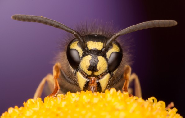 Picture flower, eyes, macro, bee, background, muzzle, insect, antennae
