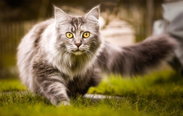 Picture cat, grass, cat, nature, grey, fluffy, tail, walk, yellow eyes