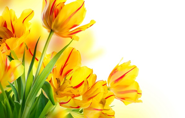 Picture leaves, yellow, tulips, white background, buds, bokeh