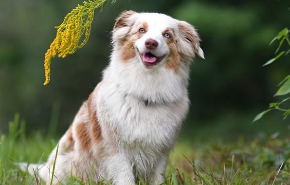 Picture smile, dog, Miniature Australian shepherd