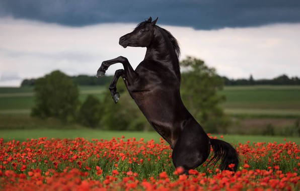 Picture flowers, horse, Maki, stallion, meadow, crow, dybah