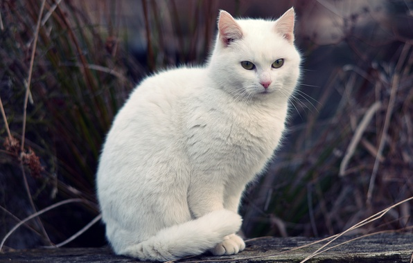 Picture cat, white, grass, cat, bokeh