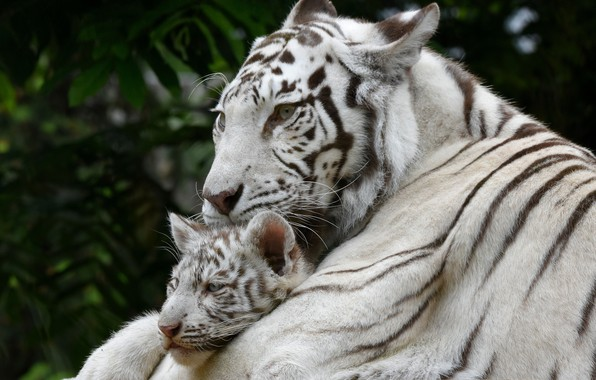Picture white, tiger, baby, mom