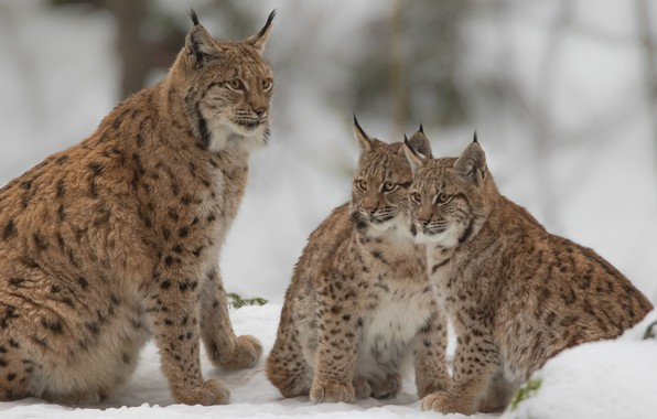 Picture snow, kittens, wild cats, lynx, lynx, cubs, the lynx