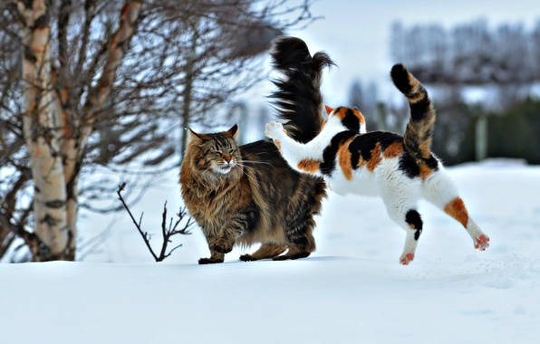 Picture winter, snow, jump, cats, the situation, attack, two cats