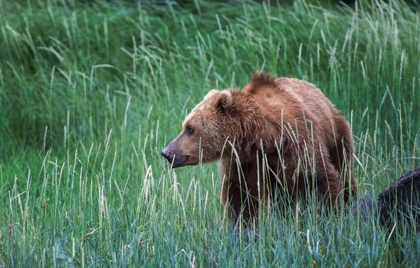 Photo wallpaper nature, grass, brown bear, USA, Alaska