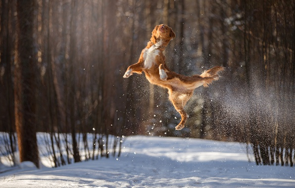 Picture winter, snow, jump, dog, flight, in the air, bokeh