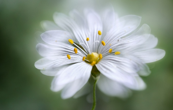 Picture white, flower, petals, yellow center