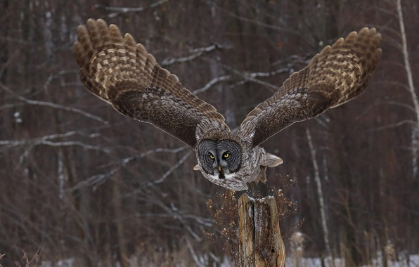 Picture look, nature, owl, wings