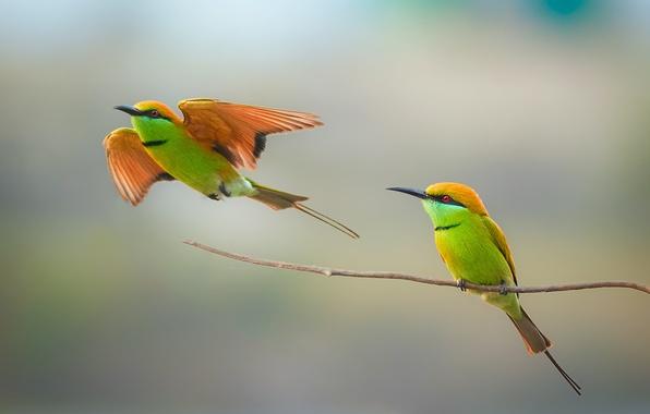 Picture birds, couple, wildlife, bee-eater