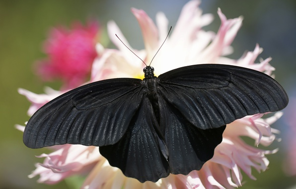 Wallpaper summer, background, butterfly, black images for ...