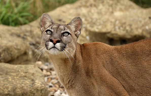 Picture face, predator, Puma, wild cat, looks, Cougar, look up