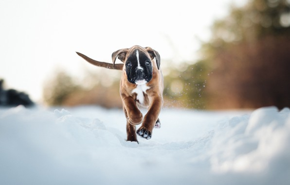 Picture winter, snow, dog, puppy, walk, Boxer