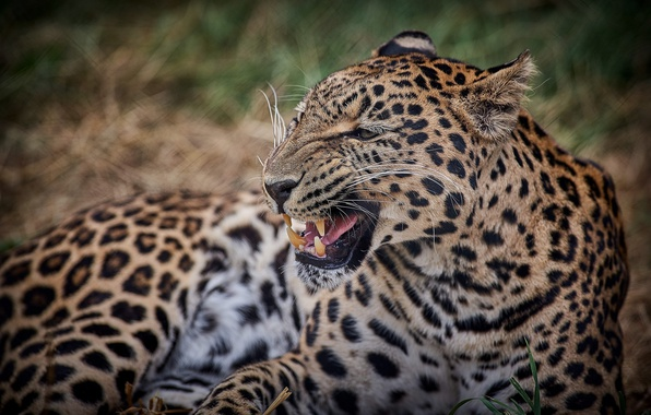 Picture face, anger, predator, mouth, leopard, fangs, grin, wild cat, roar, the threat