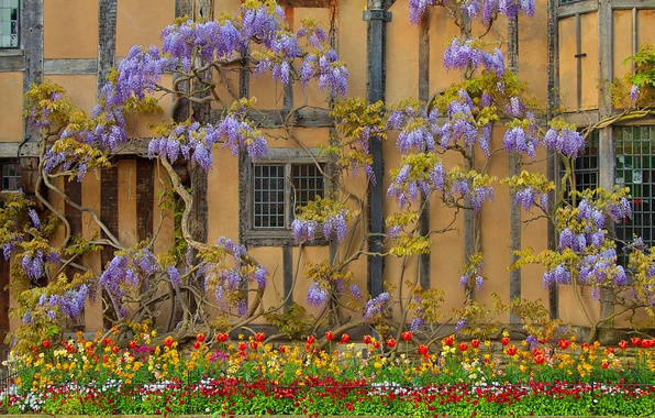 Picture flowers, house, wall, England, Wisteria, Wisteria, Stratford-upon-Avon