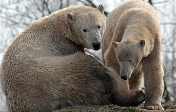 Photo wallpaper bears, polar, pair, family