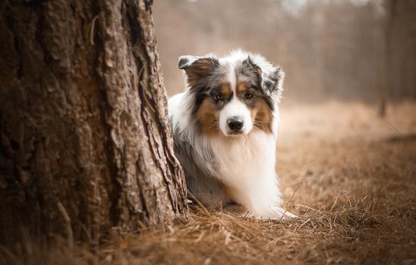 Picture Dog, Look, Australian shepherd, Each