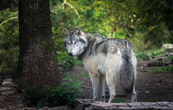 Picture forest, summer, look, nature, pose, stones, grey, tree, foliage, wolf, turn, trunk