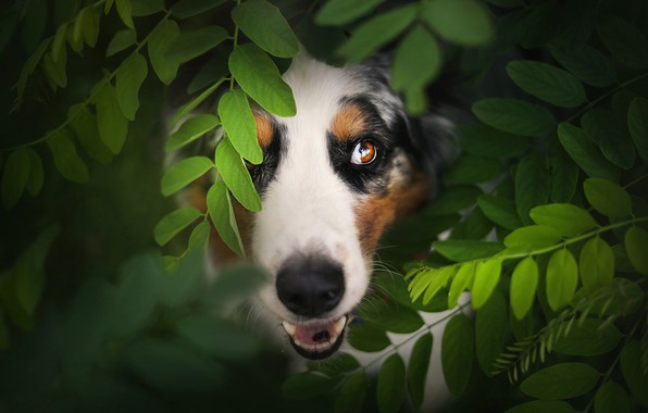 Picture look, face, leaves, Australian shepherd, Aussie