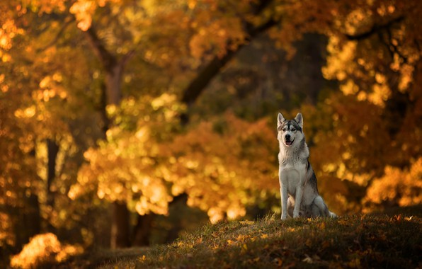 Picture autumn, dog, bokeh, Husky