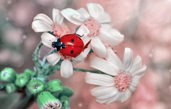 Picture macro, flowers, ladybug, buds, bokeh, Mustafa Ozturk, Mustafa Öztürk