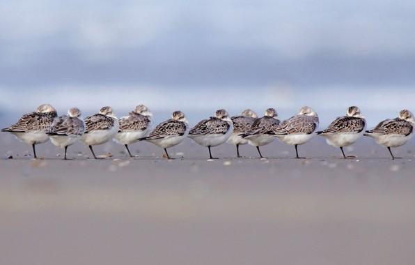 Picture birds, pack, a number, Netherlands, gerbil, Terschelling