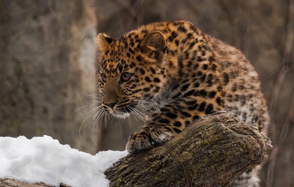 Picture predator, leopard, cub, wild cat, zoo, far East, Amur