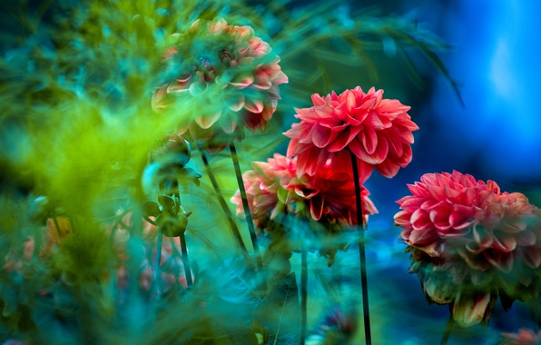 Picture greens, leaves, flowers, blue, background, blue, red, blurry, dahlias