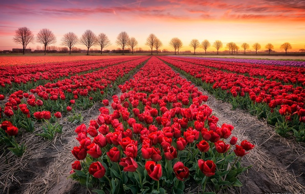Picture field, trees, sunset, tulips