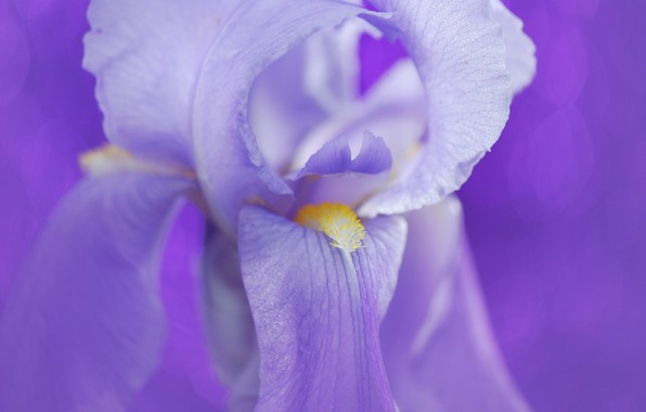 Picture flower, petals, iris