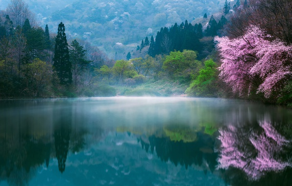 Picture flowers, nature, fog, lake, spring, Japan, Sakura, haze, dervla