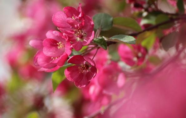 Picture macro, branch, spring, blur, Apple, flowering, flowers