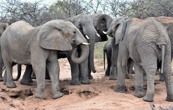 Picture group, Africa, elephants