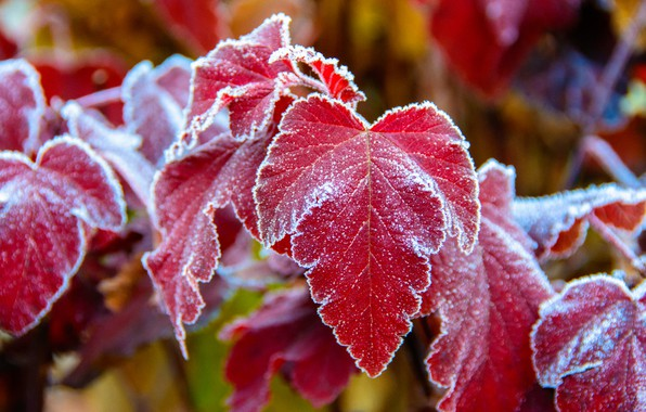 Picture frost, blur, red leaves