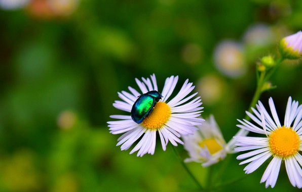 Picture chamomile, Macro, Flowers, beetle, Flowers, Bokeh, Insect, Bokeh, Macro