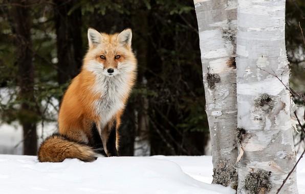 Picture winter, trees, nature, animal, Fox, birch, Fox, Peter Darcy