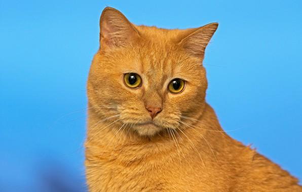 Picture cat, background, portrait, muzzle, red cat, cat, Vzglyad