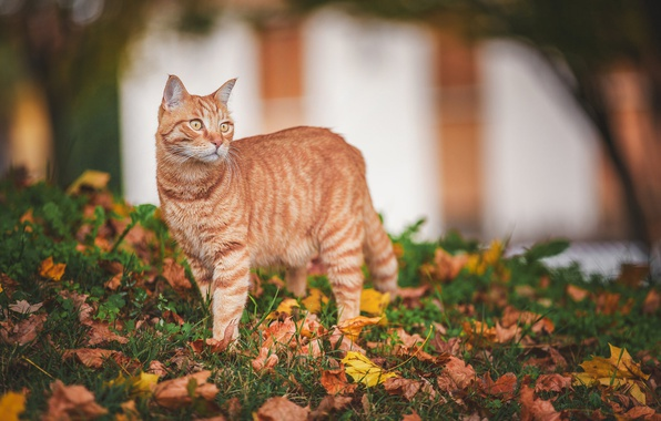 Photo wallpaper autumn, cat, look, leaves, red cat