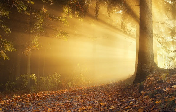 Picture autumn, forest, the sun, light, trees, branches, nature, tree, foliage, morning