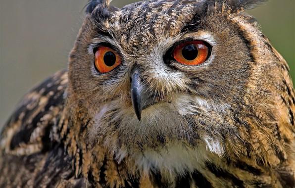 Picture look, owl, bird, eyes, Owl