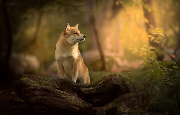 Picture forest, dog, log, bokeh