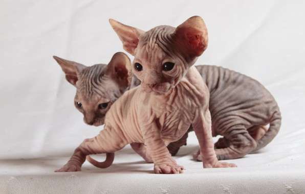 Picture cats, kitty, eyes, leather, kittens, kitty, a couple, light background, two, folds, faces, Sphinx, sphinxes, …
